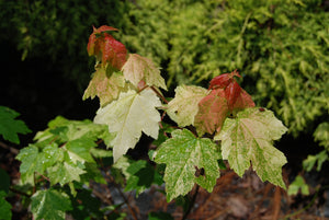 Acer rubrum 'Candy Ice'