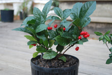 Ardisia japonica 'Andre the Giant'