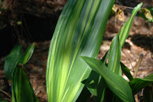 Aspidistra elatior 'Stars and Stripes'