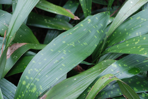 Aspidistra sichuanensis 'Ghost Spots'