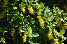 Berberis jamesiana
