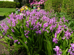 Bletilla striata 'Big Bob'