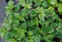 Boehmeria spicata 'Chantilly'