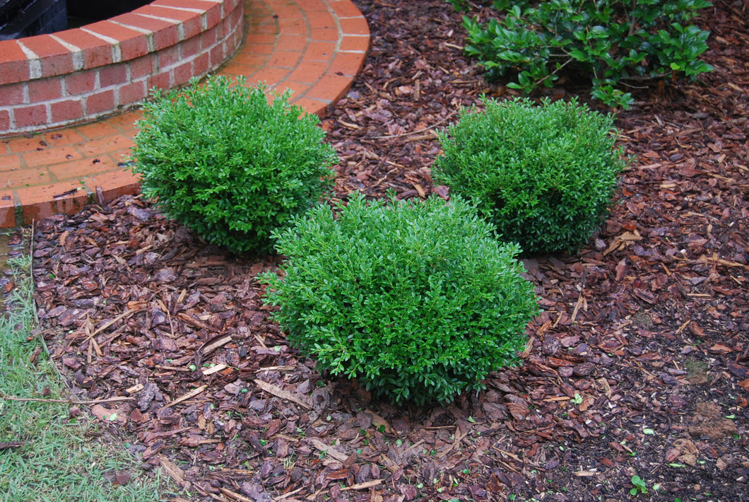 Buxus microphylla 'Grace Hendrick Phillips'