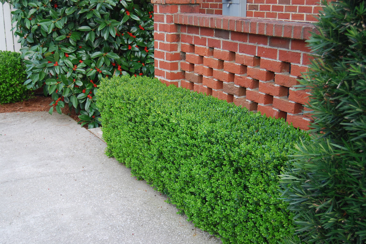 Picture of Live Jap. Boxwood (drk green) aka Buxus mic. jap. 'Green Beauty' Plant Fit 5 Gallon Pot