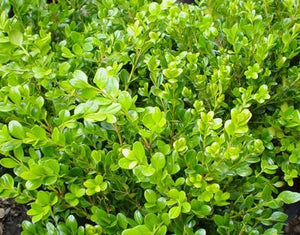 Buxus microphylla asiatica 'Winter Gem'