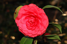 Camellia japonica 'Colonel Fiery'