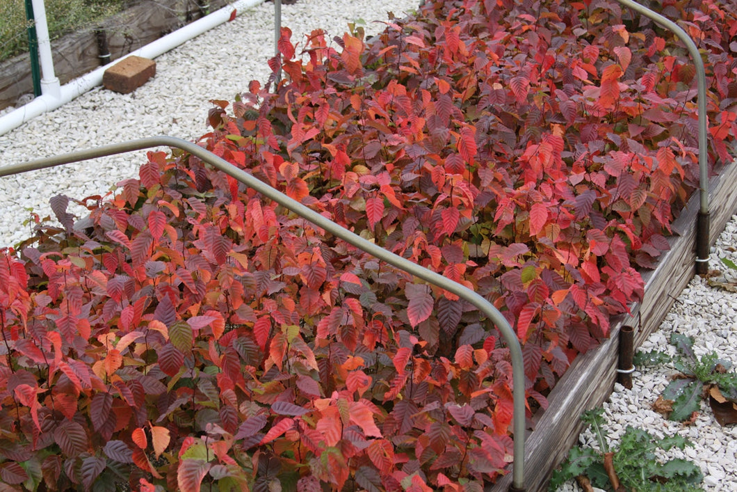 Carpinus caroliniana 'Wisconsin Red'®