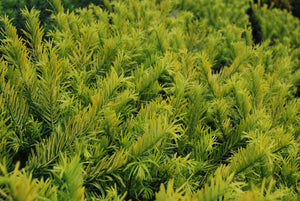 Cephalotaxus harringtonia 'Golden Dragon'