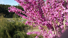 Cercis chinensis 'Don Egolf'