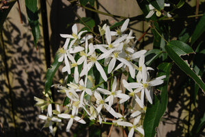 Clematis armandii 'Jeffries Form'