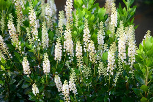 Clethra alnifolia 'Sixteen Candles'