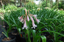 Crinum herbertii 'Milk and Wine'