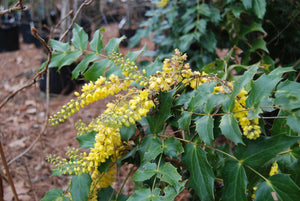 Mahonia media 'Cantab'