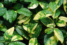 Camellia sinensis f. macrophylla 'Yellow Tea'