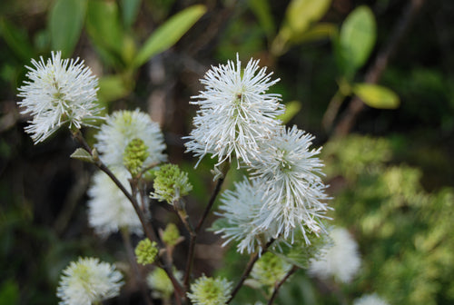 Fothergilla major 'Mt. Airy'
