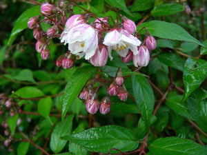 Deutzia hybrida 'Pink Minor'