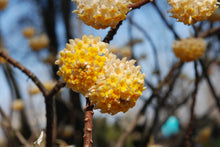 Edgeworthia chrysantha 'Winter Gold'