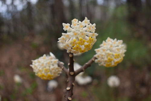 Edgeworthia chrysantha 'Heaven Scent'