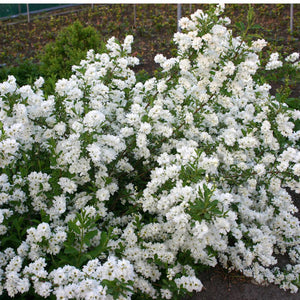 Exochorda Snow Day® 'Surprise' PP#21,665