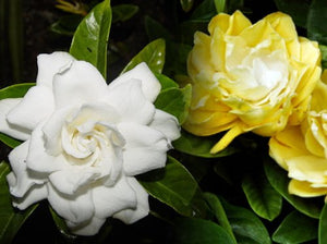 Gardenia jasminoides 'Golden Magic'
