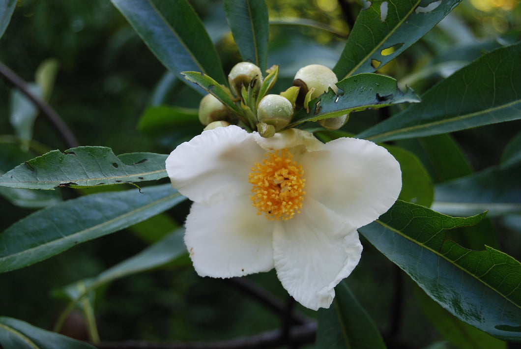 Gordlinia grandiflora 'Sweet Tea'
