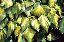 Hedera colchica 'Sulphur Heart' (syn. 'Paddy's Pride)