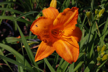 Hemerocallis 'My Reggae Tiger'