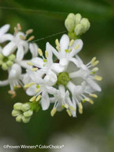 Heptacodium miconioides 'Temple of Bloom'® PPAF