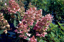 Hydrangea paniculata 'Chantilly Lace'