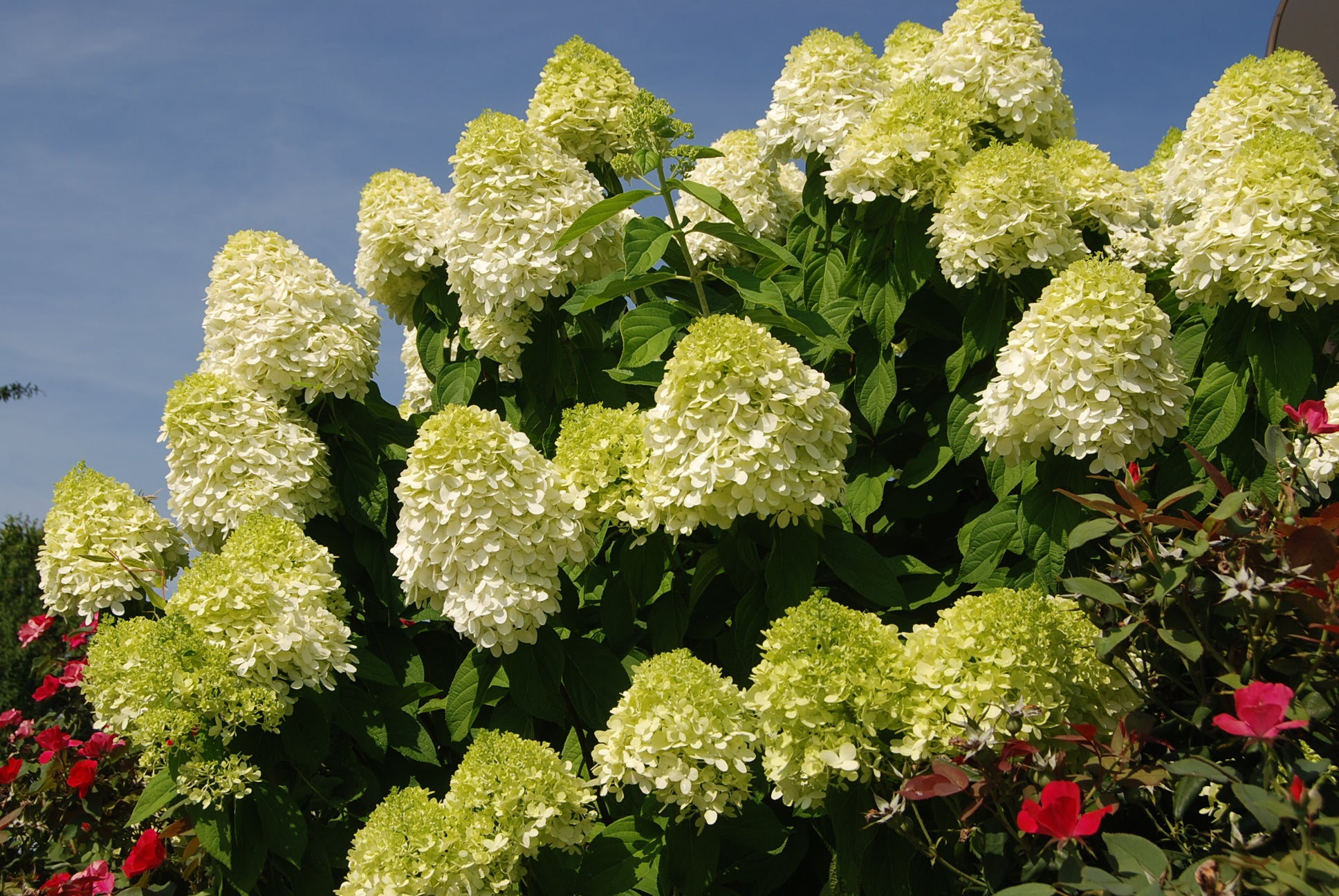 Picture of Live Hardy Hydrangea aka Hydrangea pan. 'Limelight' PP12874 Plant Fit 1 Gallon Pot