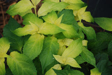 Hydrangea serrata 'Golden Crown'