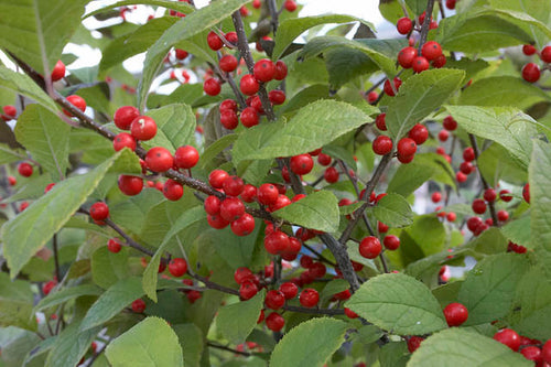 Ilex serrata 'Sparkle Berry'