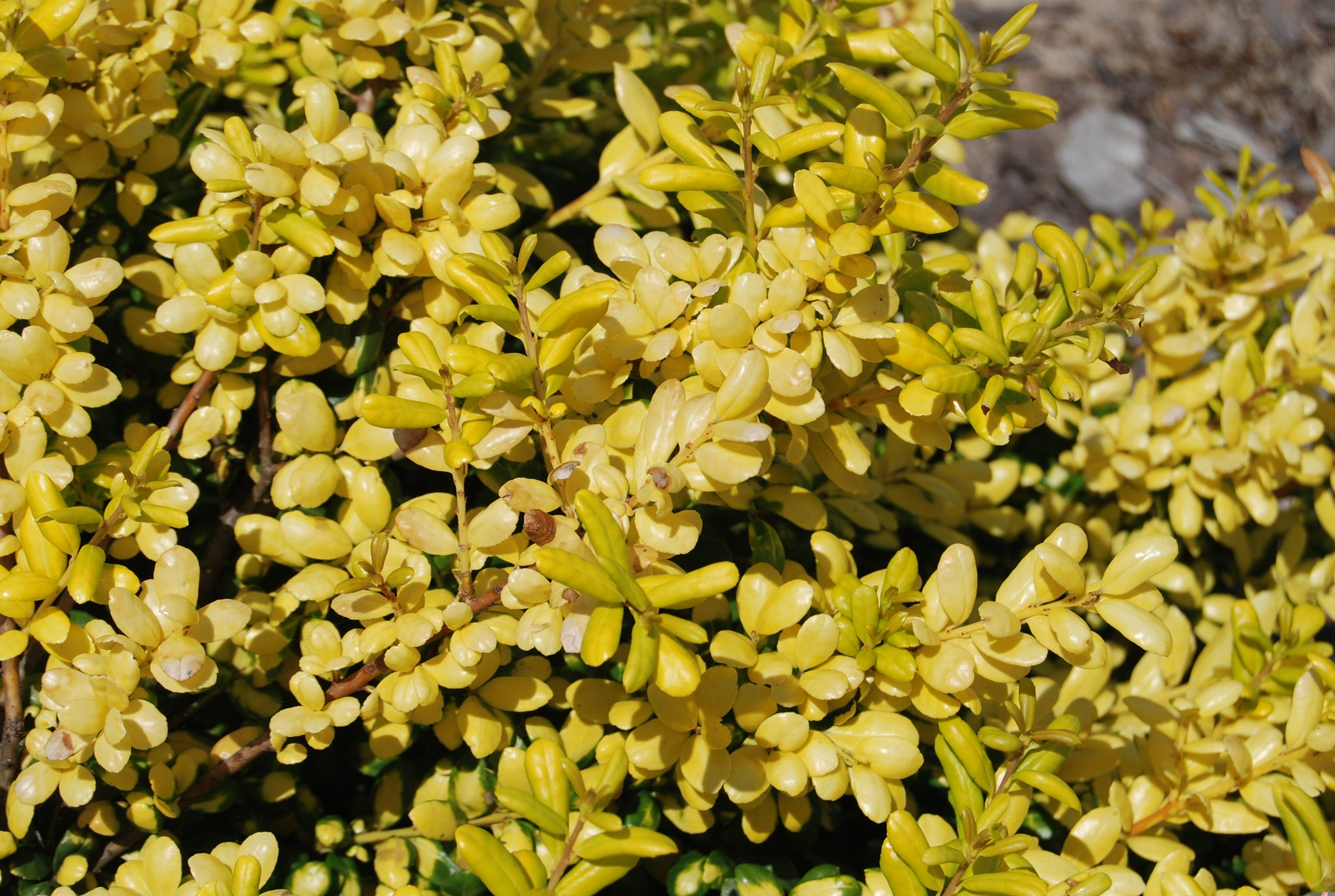 Ilex Crenata Golden Gem ilex crenata 'drops of gold' pp14420 – nurseries caroliniana