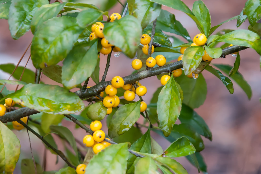 Ilex decidua 'Finch's Gold'