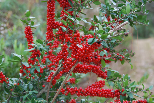 Ilex vomitoria 'Carolina Ruby' PP19266