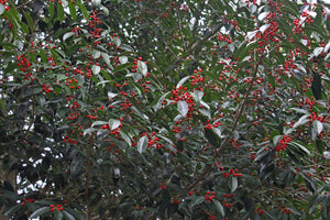 Ilex chinensis 'Cherry Ice'