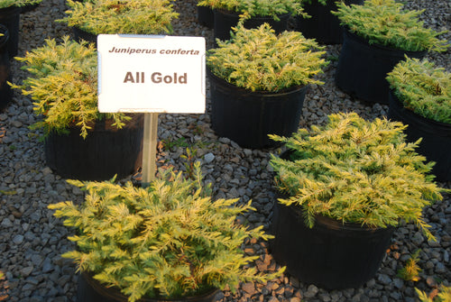 Juniperus conferta 'Golden Pacific'™