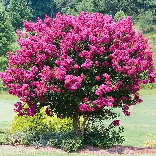 Lagerstroemia indica 'Whit III' (Pink Velour®)PP10319