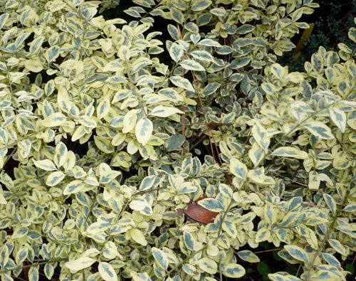 Ligustrum sinense 'Swift Creek'