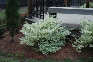 Loropetalum chinense 'Carolina Moonlight' PP18977
