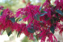 Loropetalum chinense rubrum 'Carolina Midnight'