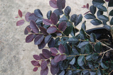 Loropetalum chinense rubrum 'Ruby Snow'™ PPAF