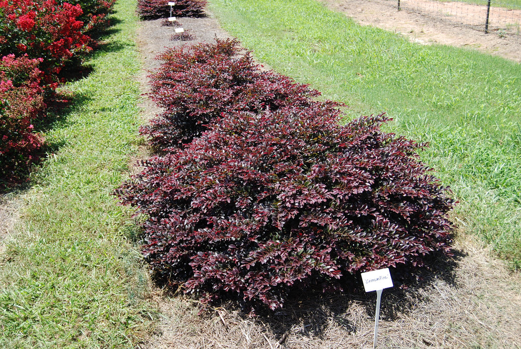 Loropetalum chinense var. rubrum First Editions® Crimson Fire™PP25534