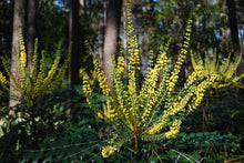 Mahonia media 'Arthur Menzies'