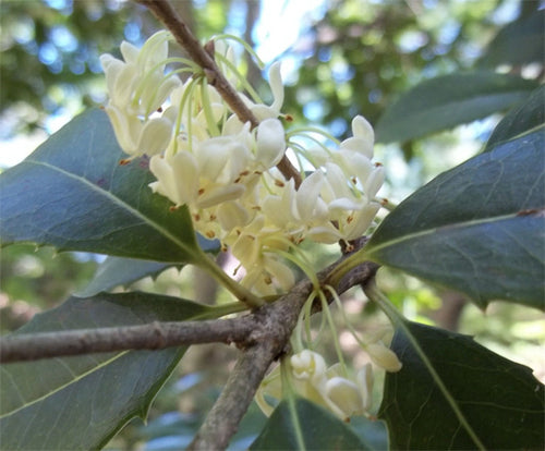Osmanthus fortunei 'Fruitlandii'
