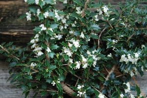 Osmanthus heterophyllus 'Kaori Heme' Party Princess®