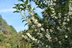 Osmanthus fortunei 'San Jose'