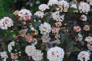 Physocarpus opulifolius 'Seward' (Summer Wine™) PP14821'