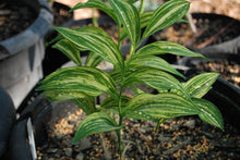 Polygonatum macranthum 'Tiger Stripes'